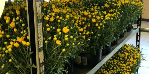 Outdoor ALDI Finds | $2.99 Potted Mums & $9.99 Specialty Herb Gardens