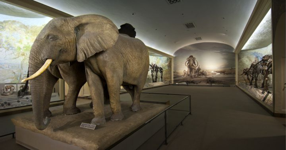 elephant at morril hall museum