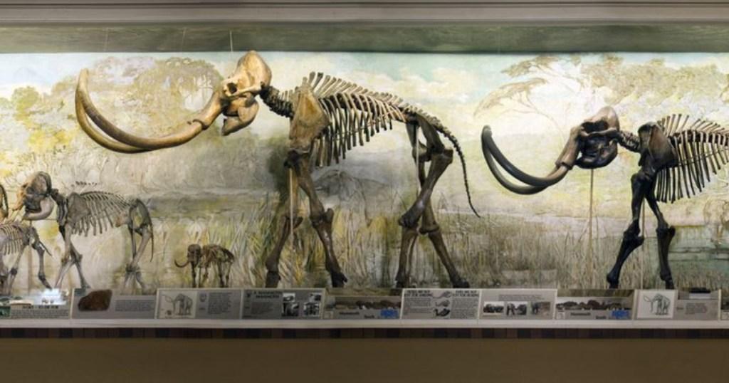 elephant bones at morrill hall