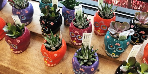 Day of the Dead Succulents Only $3.99 at Trader Joe's