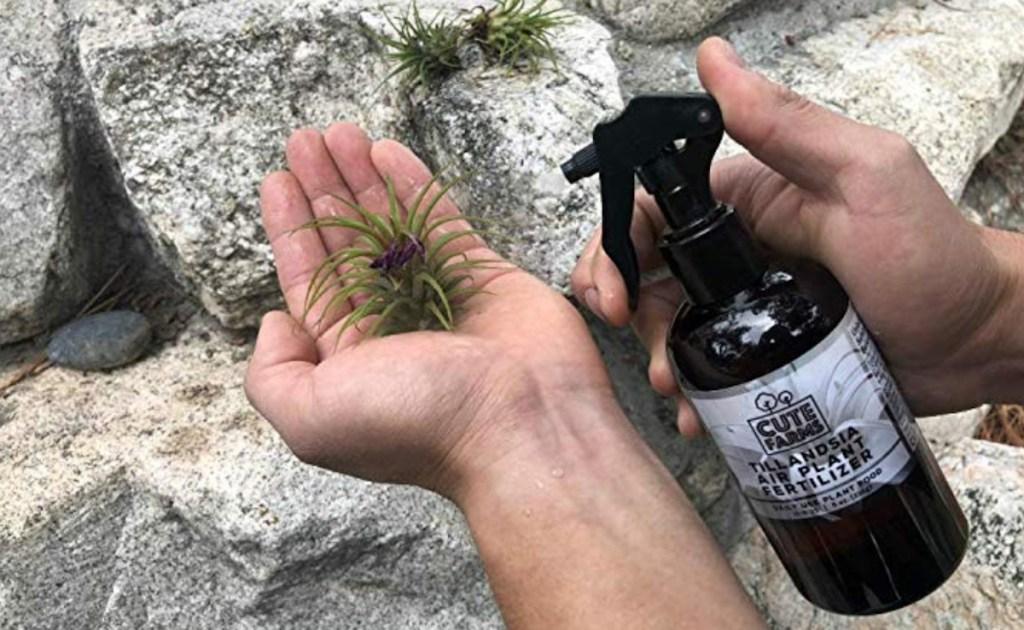hands holding air plants and fertilizer spray bottle