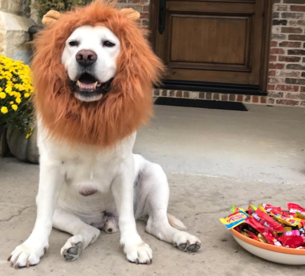 dog costume with lion mane and bowl of candy