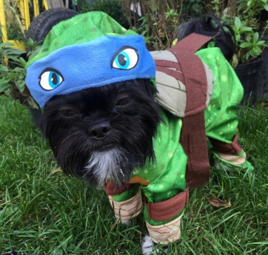 small black dog wearing green ninja turtle costume