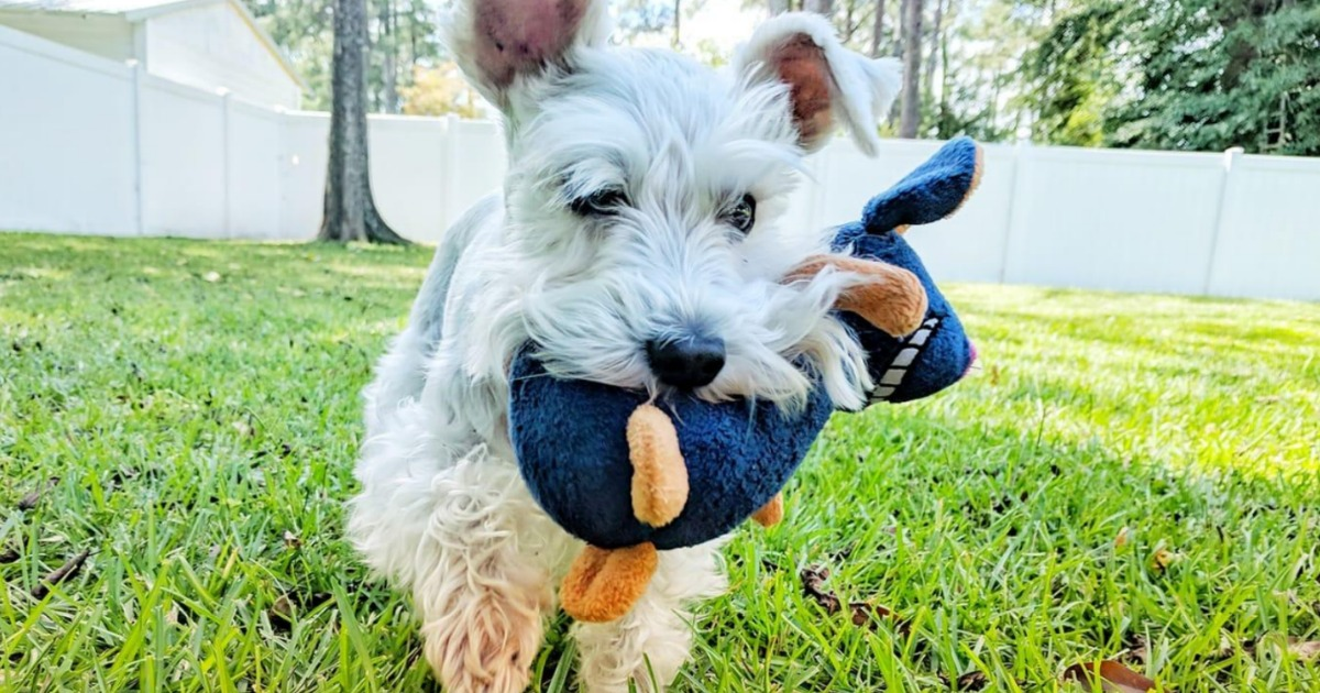 Small white dog with plush mouse dog toy in it's mouth, running in the yard