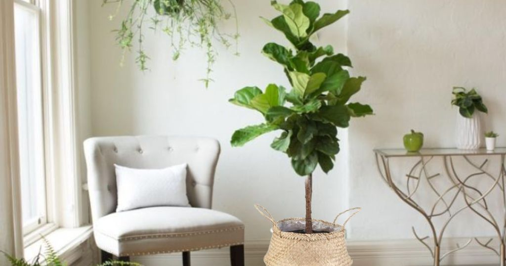 Fig Leaf Tree in the living room