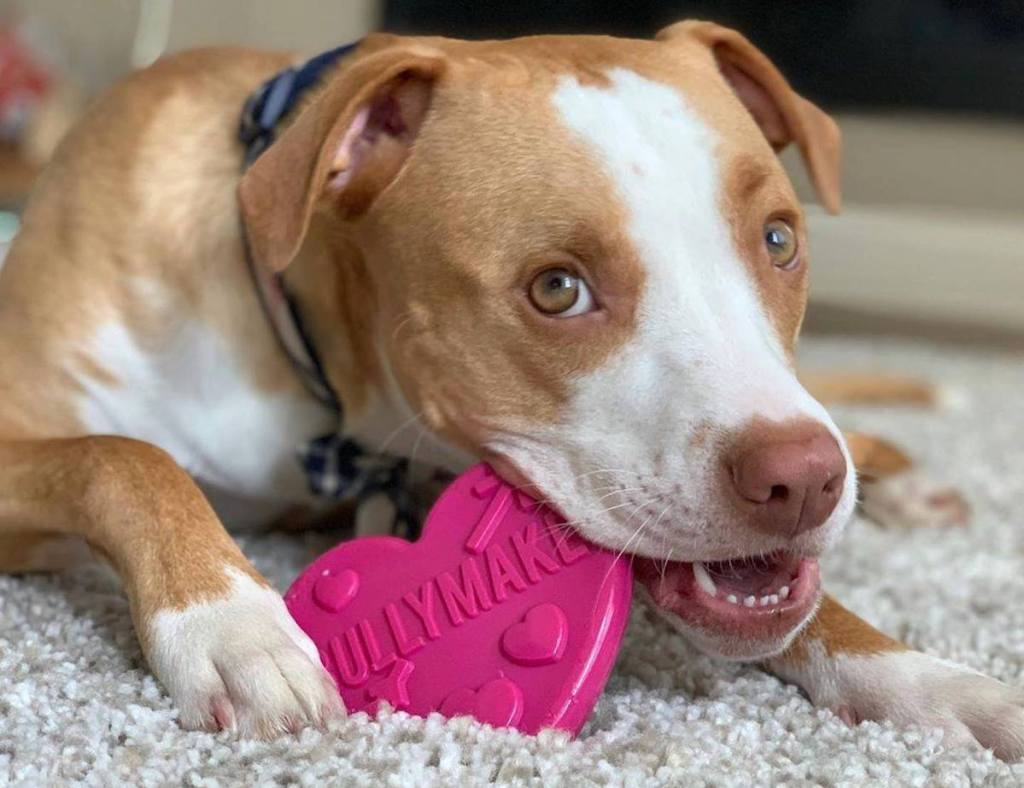 dog chewing on pink bulymake heart