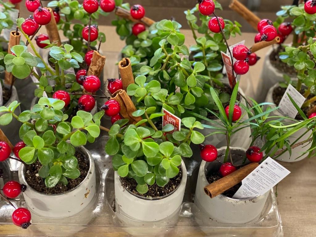 Holiday Mini Succulents for sale at ALDI