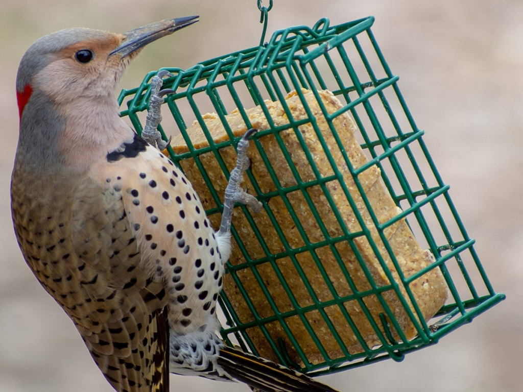Bird hanging on a suet cage with suet