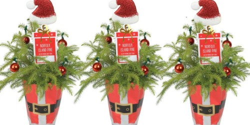 Fresh Christmas-Tree Like Plants 3-Pack Only $24.77 Shipped | Decorated w/ Holiday Ornaments