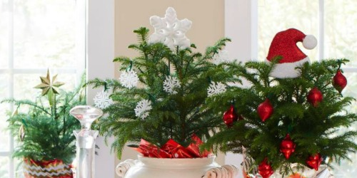Fresh Norfolk Island Pine 3-Pack Only $24.77 Shipped (Regularly $35)