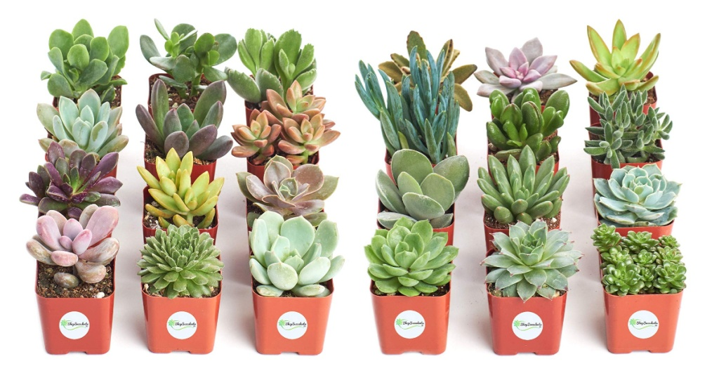 Hand Selected Variety 12-Pack of Mini Succulents