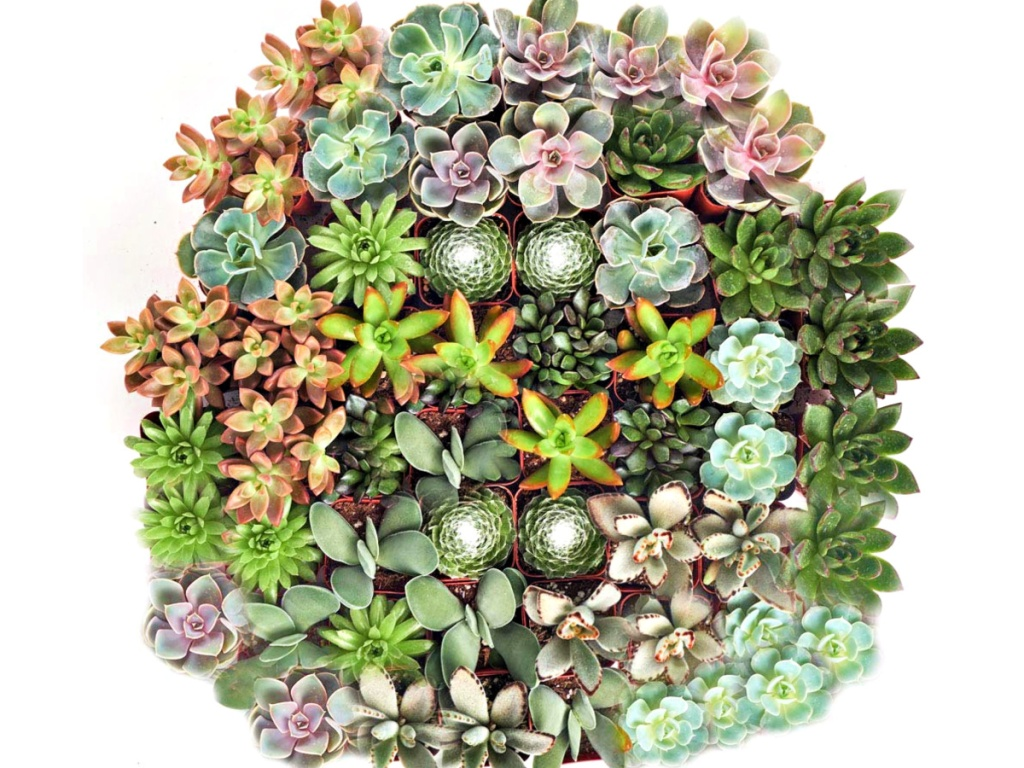Hand Selected Variety 40-Pack of Mini Succulents
