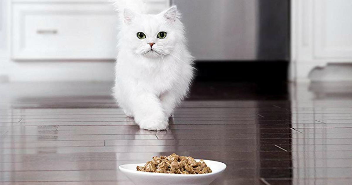 cat walking towards a plate of food