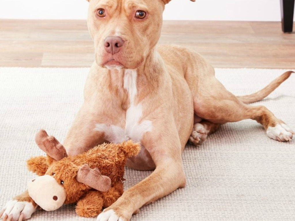 fawn colored puppy with moose plush toy