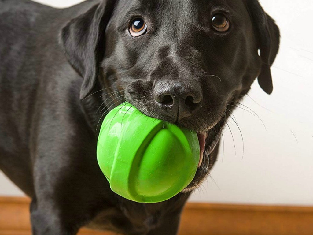 Adult Black Lab dog playing with a large green ball toy