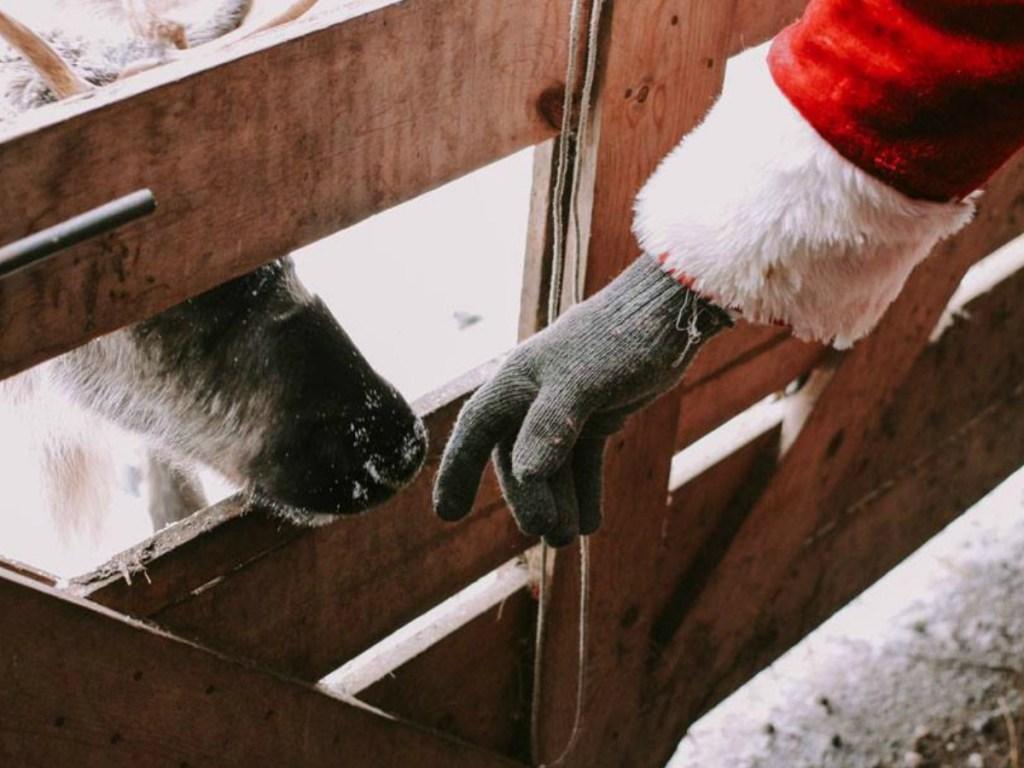 Santa feeding his reindeer