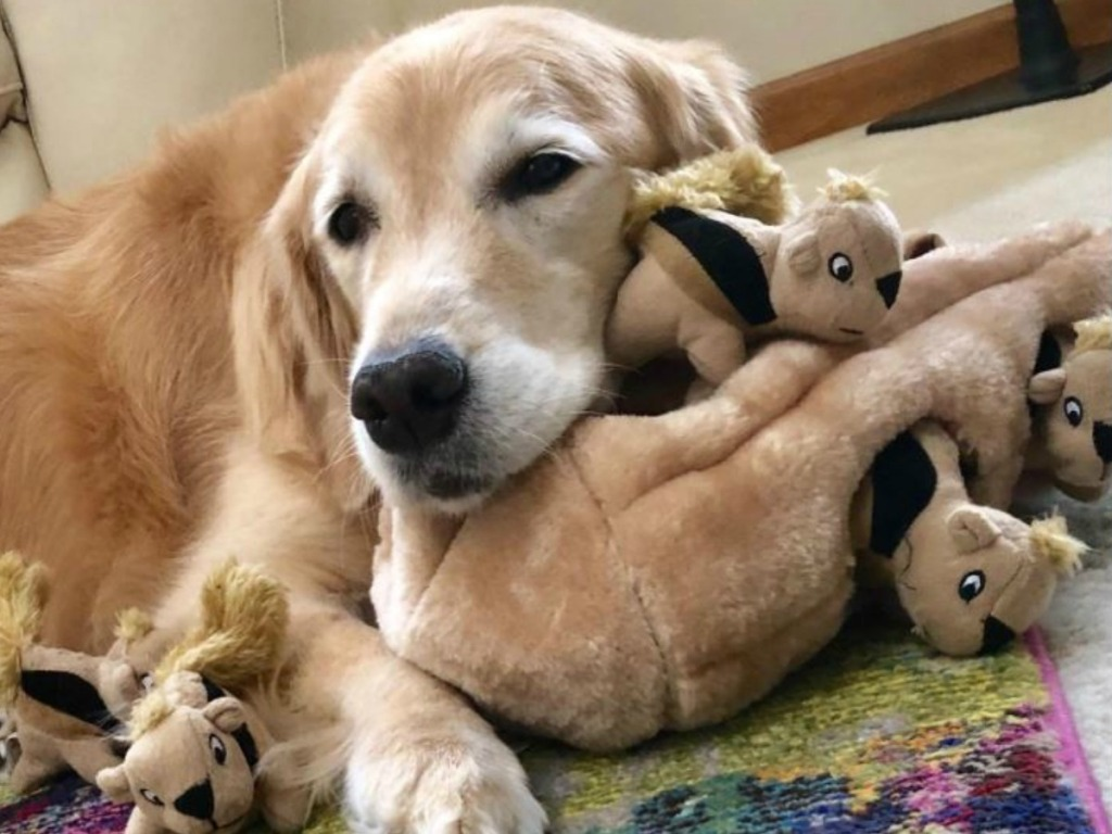 dog laying by squirrel toy
