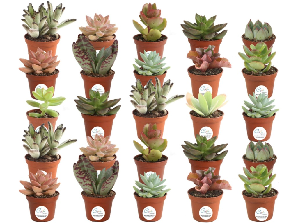 Amazon live House Plants Succulents