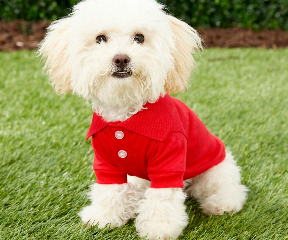 Small dog wearing a red t-shirt in a grassy area outside