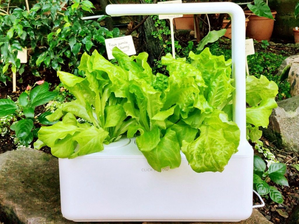 Romaine Lettuce growing in an indoor planter