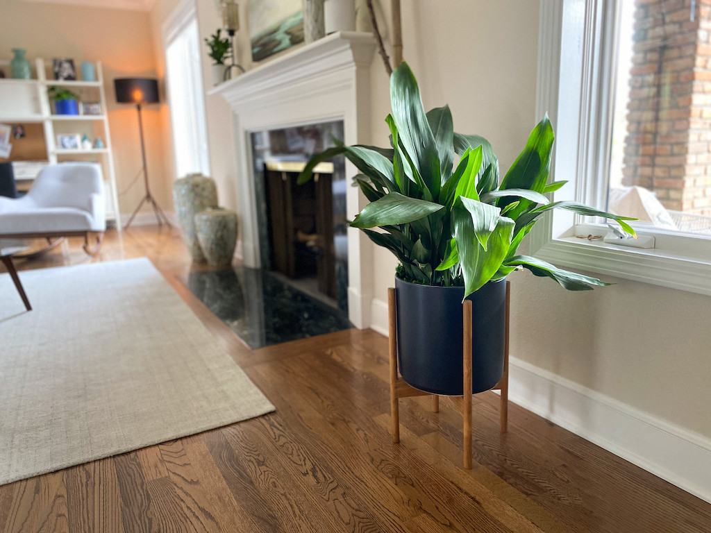 large potted plant in living room