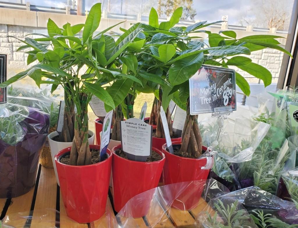 money tree plants in red pots