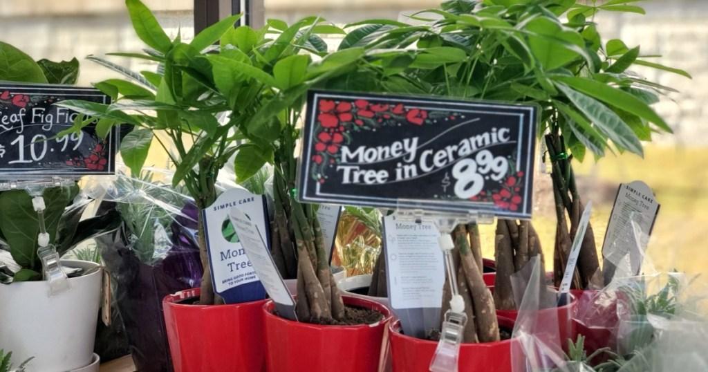 money tree plants in pots