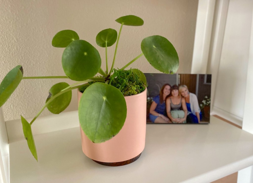 plant with circle leaves and orange planter sitting on shelf with family photo