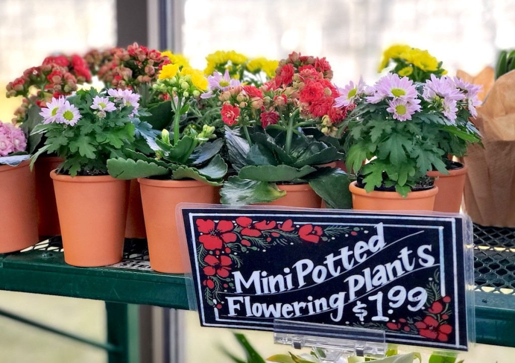 various colors of potted flowers on shelf with $1.99 sign