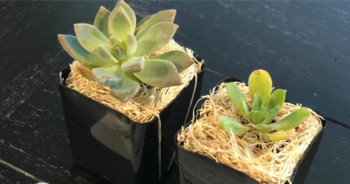Two succulent plants in black square planters