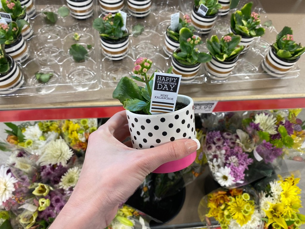 Woman holding Succulent at ALDI with more in the background