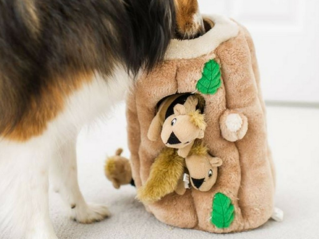 Small tri-colored collie dog playing with an extra large plush squirrel dog toy