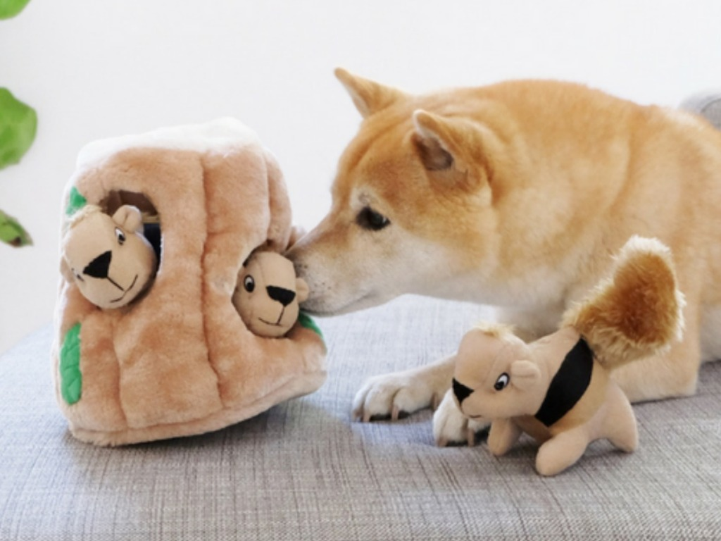 Shiba Inu playing with a large hide and seek squirrel plush toy