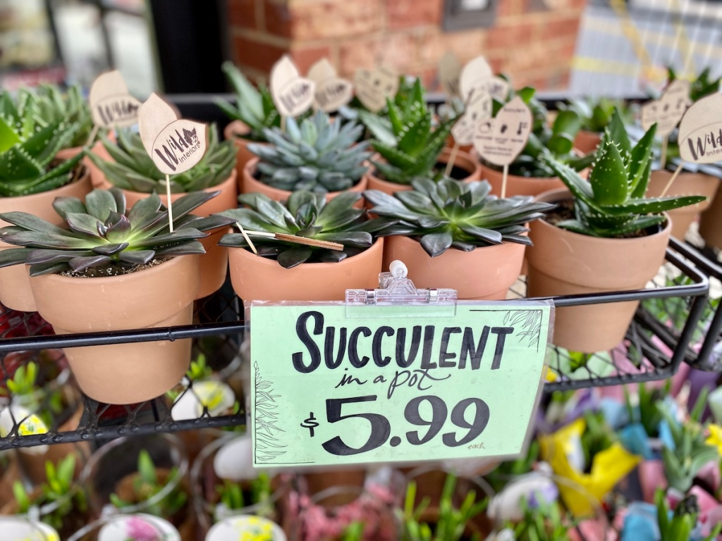 shelf of Trader Joe's Potted Succulents