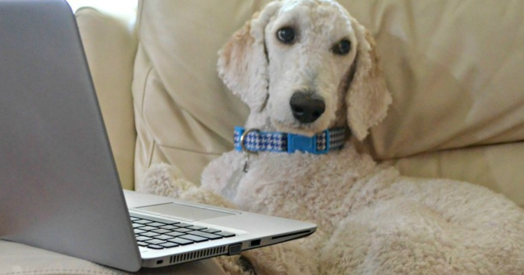 white dog on couch in front of a laptop