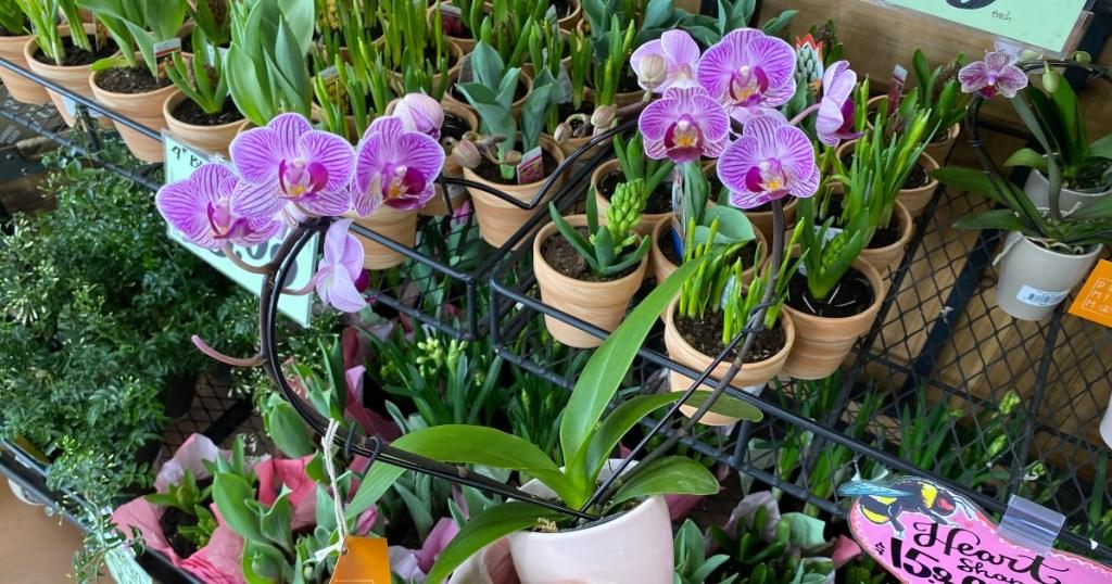 purple orchid on heart-shaped trellis at Trader Joe's