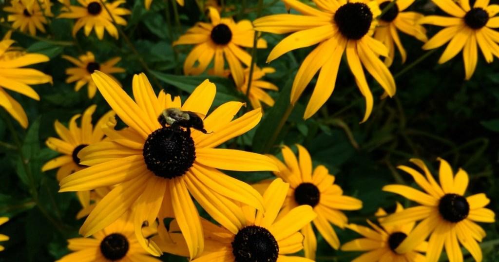 bee on black eyed susans