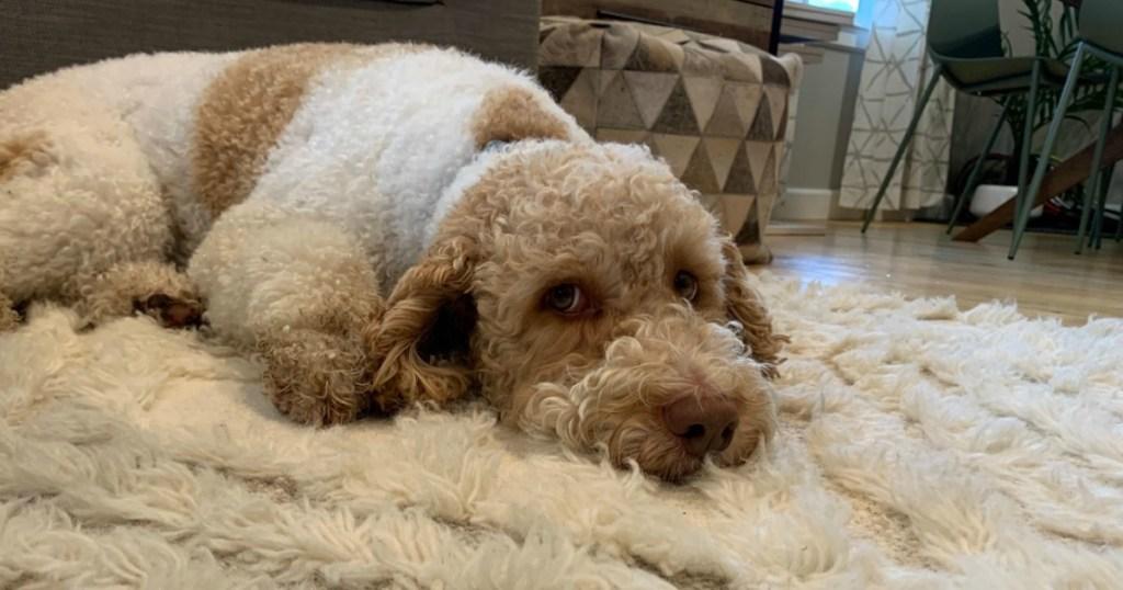 labradoodle dog on carpet