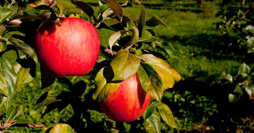 two honeycrisp apples on tree