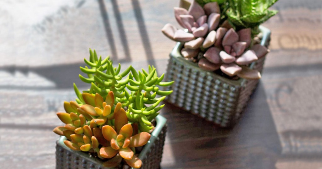 mini succulent arrangements potted in square pots on table in sunlight