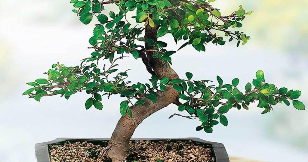 "bonsai 6"" elm tree in planter up close"