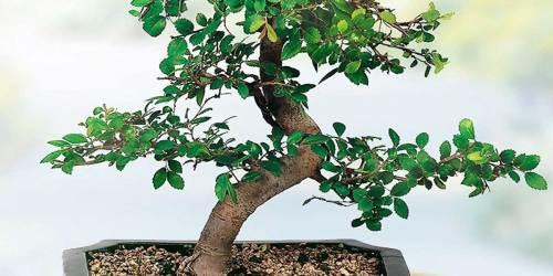 Bonsai Tree w/ Planter Just $22.51 Shipped on Lowe's