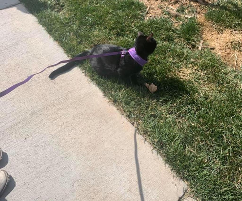 black cat on purple leash standing outside on grass