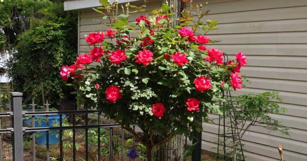red rose tree outside home
