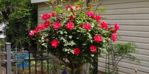 Rose Tree Just $49.99 Shipped on HomeDepot.com (Regularly $85)