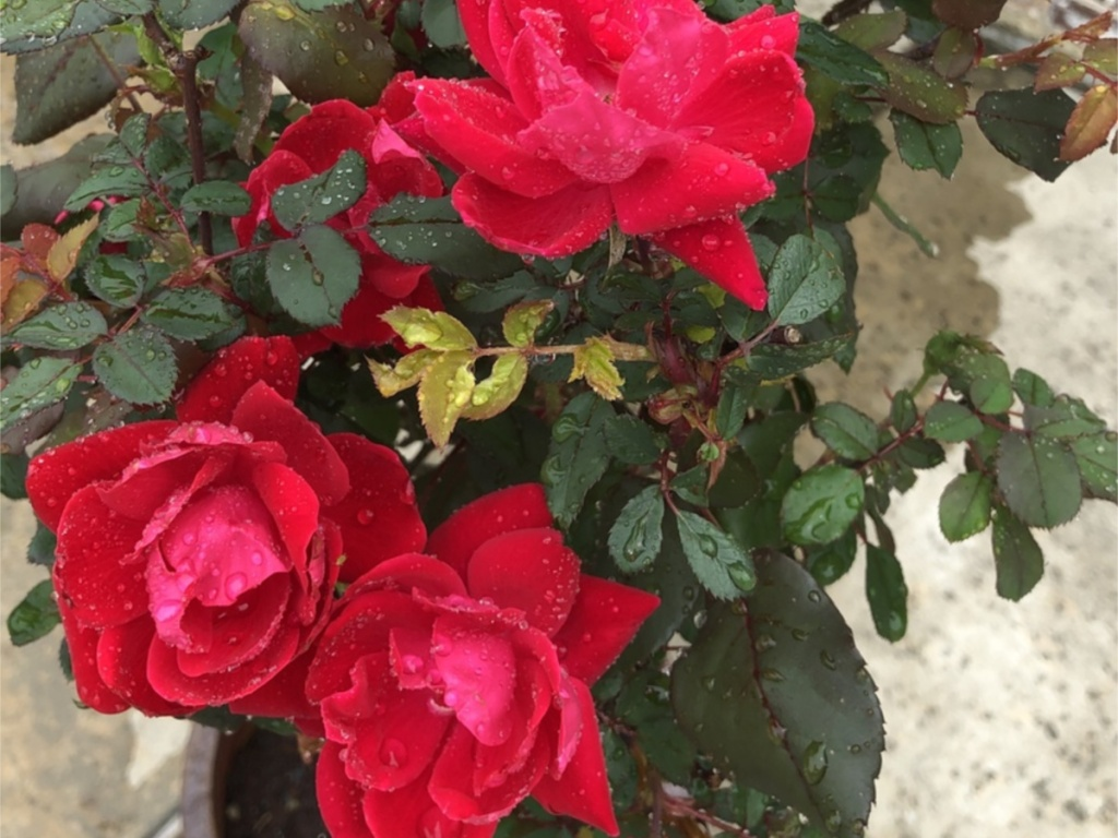 close up of red rose on tree