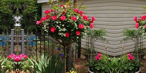Rose Tree Just $49.99 Shipped (Regularly $85) From The Home Depot