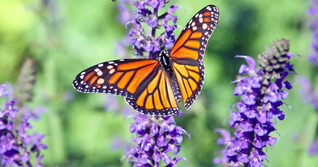 monarch butterfly on purple flowers in garden