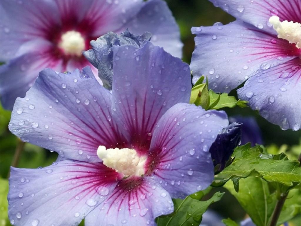 planted purple hibiscus plant
