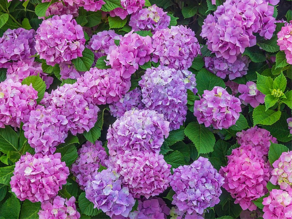 planted pink and purple hydrangea